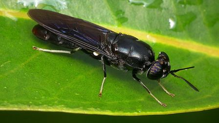 Black Soldier Fly (Hermetia illucens). Picture: James Niland/Wikimedia