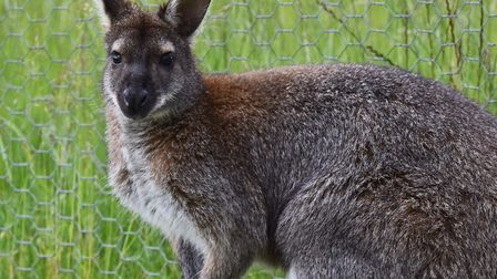 Gorgeous the Wallaby who escaped from his paddock on a farm in Ashill. His owners Charles and Cather
