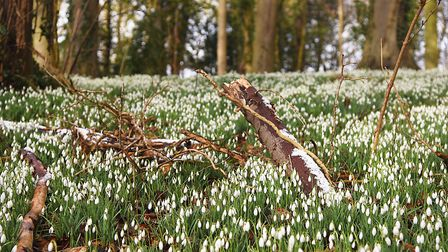 18 acres of woodland are carpeted with snowdrops at Walsingham Abbey. Picture: Ian Burt