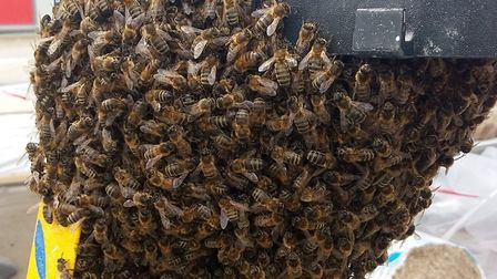 Downham group CGM were called in to remove the 15,000 honey bees swarm from the stepladder