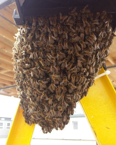 Downham group CGM were called in to remove the 15,000 Honey Bees Swarm