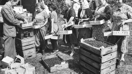 A popular seasonal job among the then Dereham and district housewives is blackcurrant picking. This