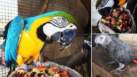 The parrots which have been stolen from Swallow Aquatics, at East Harling Picture: Swallow Aquatics