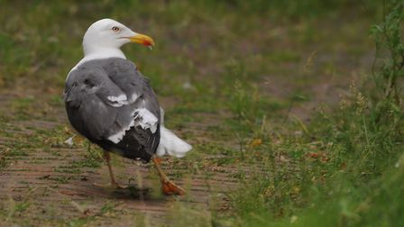 The seagull shows a damaged leg after being rescued from wire on a building in Surrey Street. Pictur