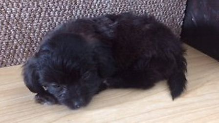 The puppy purchased from the Norfolk puppy farming gang. Photo: RSPCA