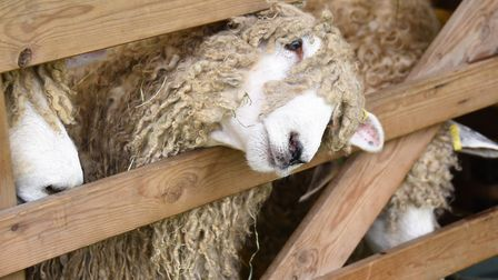 Getting the best view possible at the Royal Norfolk Show. Picture: DENISE BRADLEY