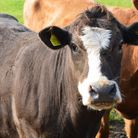 Stock photo of a cow. Picture: Chris Hill