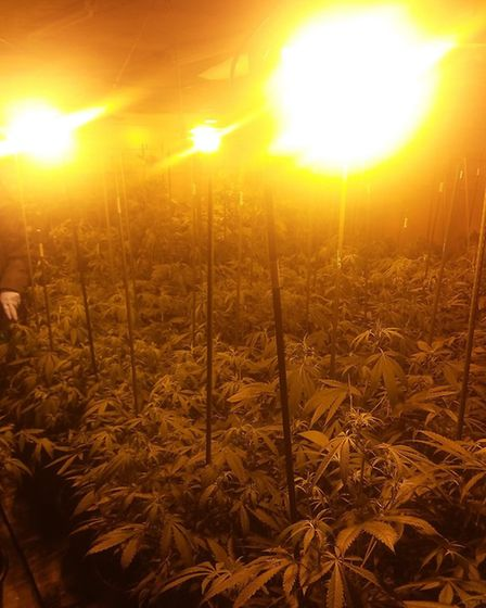 Breckland Police found more than 700 cannabis plants in an outbuilding in Houghton Lane, North Picke