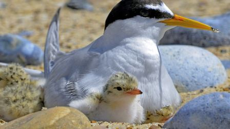 Up to 20 little tern eggs have been stolen from Winterton beach. Picture: Kevin Simmonds
