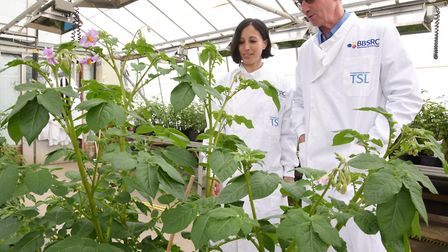 A blight-resistant GM potato has been developed at The Sainsbury Laboratory in Norwich. Prof Jonatha