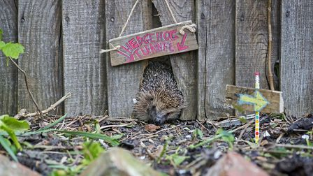 A call has been made for all housing developments to include hedgehog highways Picture: Eleanor Bent