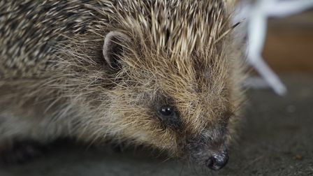 A call has been made for housing developments in Hellesdon to inclue hedgehog highways. Picture: Arc