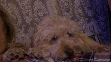 The male Cockerpoo has been missing from Upwell since 10:30pm Wednesday, July 31. Picture: Justine W
