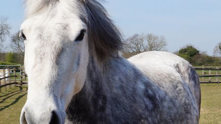 Pretty dapple grey pony Lily, who lives at Redwings Caldecott in Norfolk. Picture: Redwings.