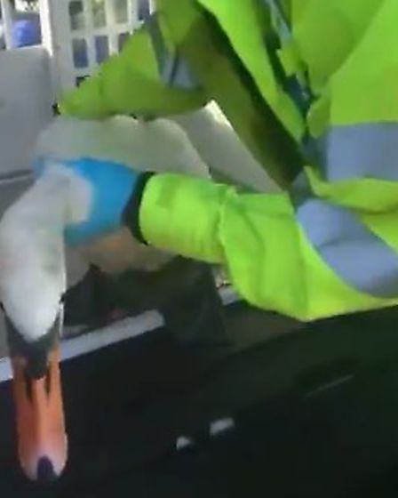 Police recovered a swan which was on the A47 at Norwich. Picture: Norfolk Police