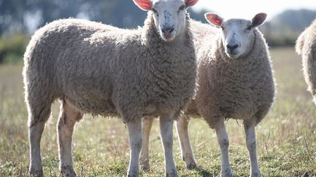 Norfolk Police said the couunty is seeing a significant amount of sheep rustling. Picture: DENISE BR