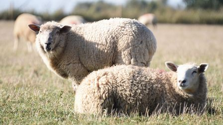 Norfolk Police said the county is seeing a significant amount of sheep rustling. Picture: DENISE BRA