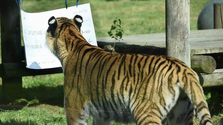 Sveta the Siberian tiger takes a close look at a cheque from the Zoological Society of East Anglia (