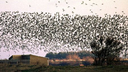 Tens of thousands of knot and other waders turn the sky black over an RSPB hide at Snettisham as t