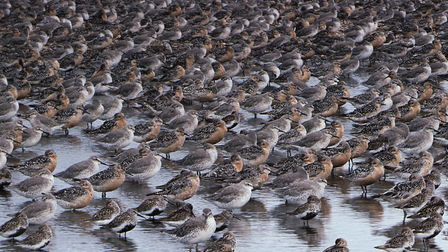 A knot flock Picture: RSPB