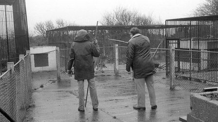 Lisa the lioness escapes from Cromer Zoo, 5th January 1984. Picture: Archant Library