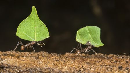 Dr Edward Hem's work has involved studying bacteria in leafcutter ant nests, which has shown similar