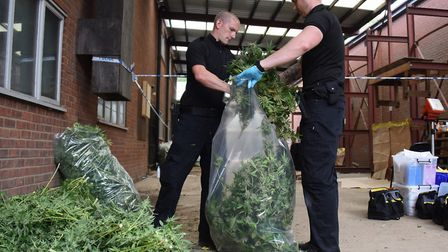 Plants are bagged up as police clear a cannabis factory found at Lenwade. Picture: DENISE BRADLEY