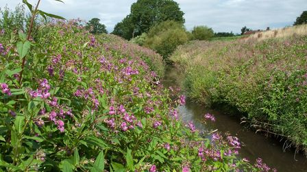 Himalayan Balsam (Impatiens glandulifera) has become a major problem in the Norfolk Broads. Picture: