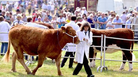 A record number of beef cattle will be at the 2019 Aylsham Show, said organisers. Picture: Nick Butc