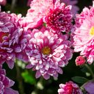 Looking for some much-needed colour in your garden this winter? Chrysanthemums should last until the