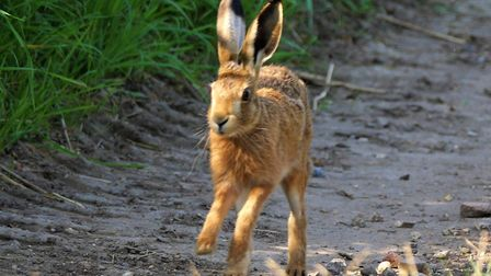 Police have been called out three times to investigate reports of hare coursing today. Picture: Geor