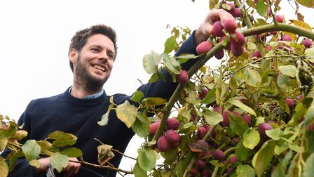 Max Maufe picks the Victoria plums at the family plum orchard near Burnham Market. Picture: DENISE B