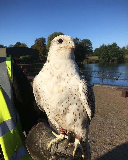 Fay a gyr-saker hybrid falcon who is being used to scare off pigeons in Diss as part of a new scheme