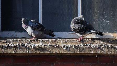 Pigeons perched on a building on Mere Street in Diss where the large amount of droppings have been a