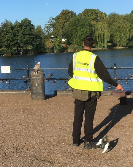 Falconer Mark White with Fay during her first flights to scare off pigeons in Diss. Picture: Simon P