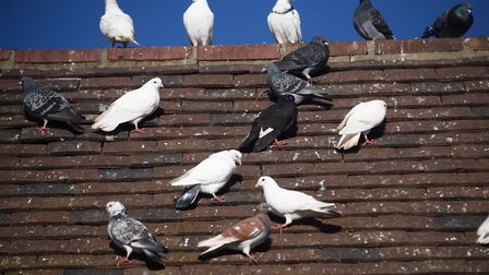 Pigeons perched on a building on in Diss where the large amount of droppings have been a persistent