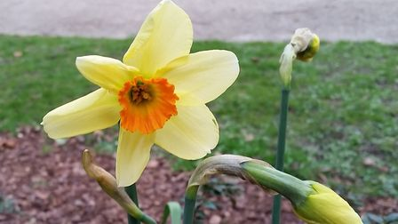 A Narcissus Edward Buxton daffodil. Pic: The Friends of Heigham Park.