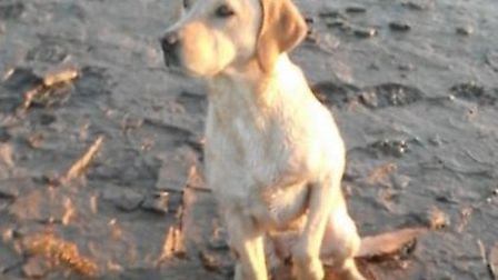 River the yellow labrador got swept away in the River Great Ouse, at Ongar hill, near King's Lynn, a