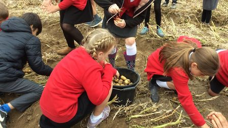 Barnham Primary School's Year 5 pupils learnt first-hand about the process of growing and harvesting