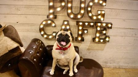 A Pug and Frenchie Cafe is coming to Norwich Credit: PugCafe.com