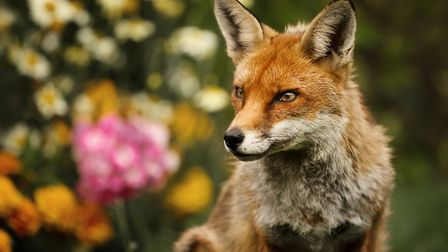 Police are investigating after a fox was found at the Hingham-based PACT animal sanctuary with its h