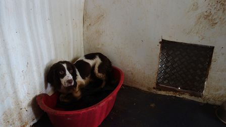 One of the dogs rescued from the puppy farm in Thurlton. Photo: RSPCA