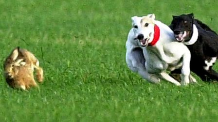 Police are planning to 'significantly' increase the number of coursers' dogs they seize Picture: Mi