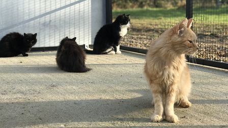 Getting to know their new surroundings, the cats at Venture Farm Cat Rescue in Mattishall awaiting n
