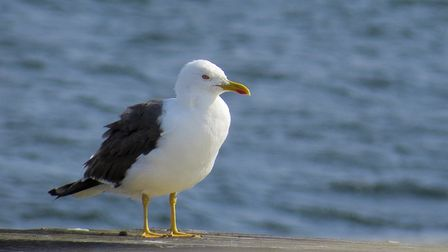 A spike in complaints about the feeding of gulls in a seaside town has seen councillors launch a cla