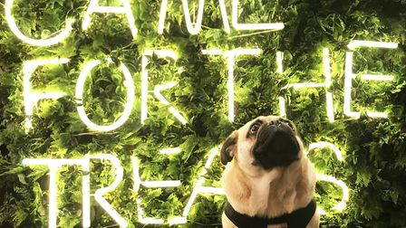Revolution Bar have opened a Pug Cafe. Picture: Ella Wilkinson