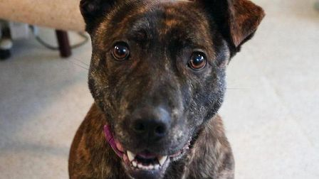 Faith, a three year old brindle Staffie who has been adopted by a couple from Norfolk. Picture: RSPC