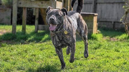 Faith, a three year old brindle Staffie who has been adopted by a couple from Norfolk Picture: RSPCA