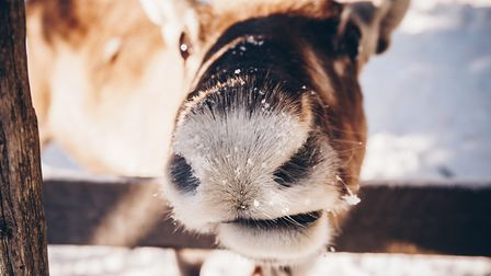 A reindeer - probably looking similar to this one - was on the loose in north Norfolk. Picture: Gett