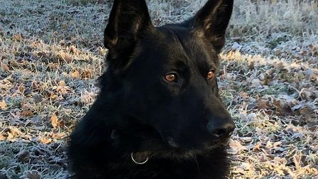 PD Gizmo, who was injured on duty. Photo: Norwich Police